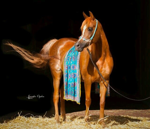Straight Egyptian Arabian for Sale