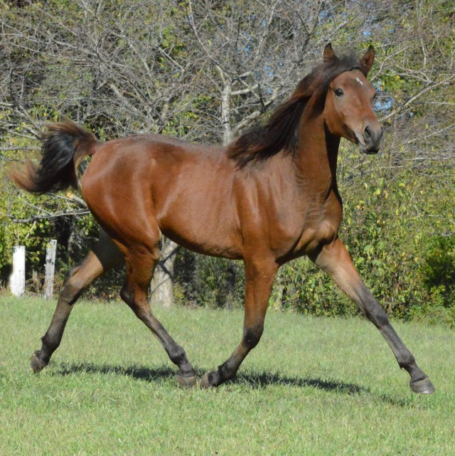3 y/o SE Arabian Bay Stallion
