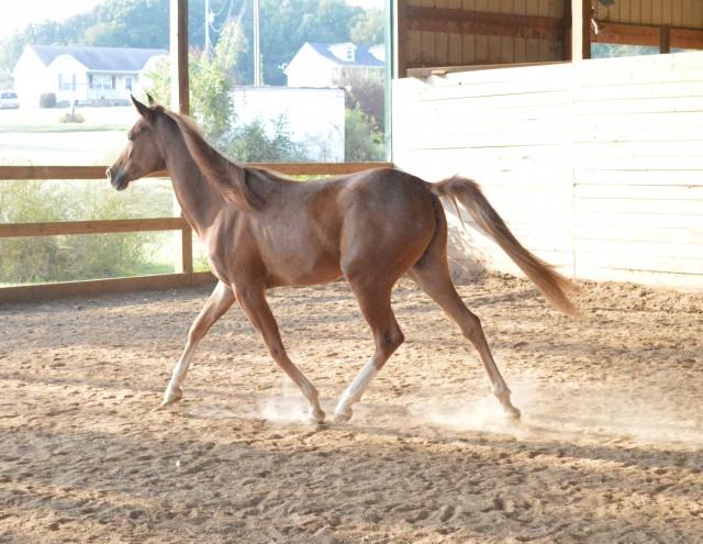 3 y/o SE Arabian Chestnut Filly