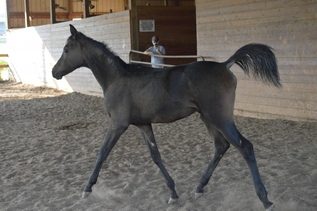 2 y/o SE Arabian Bay Colt
