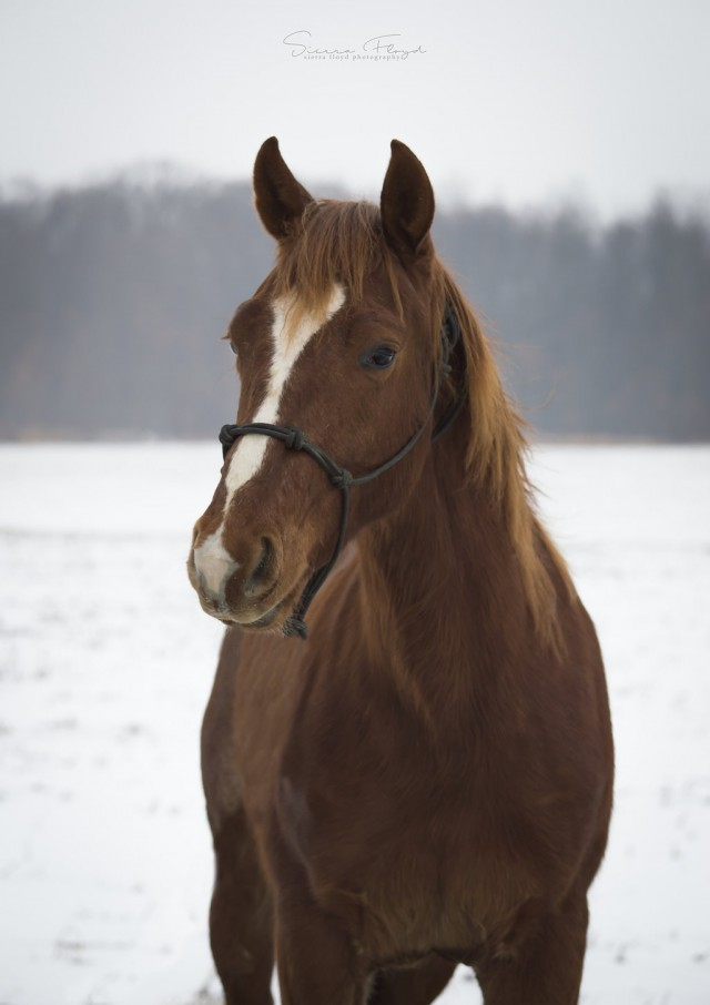 2 Year Old AQHA Gelding (Reining/CowHorse/Versatility)