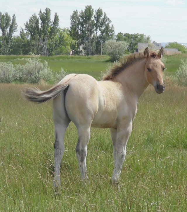 Shield H Quarter Horse