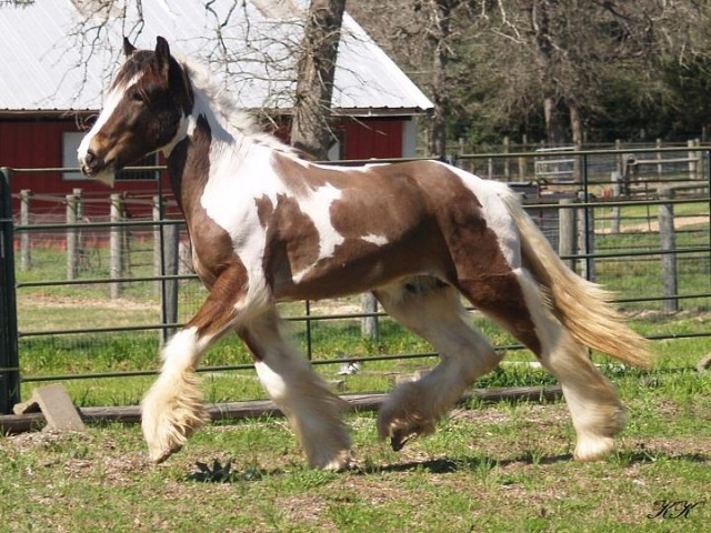 Lovely Drum Gelding