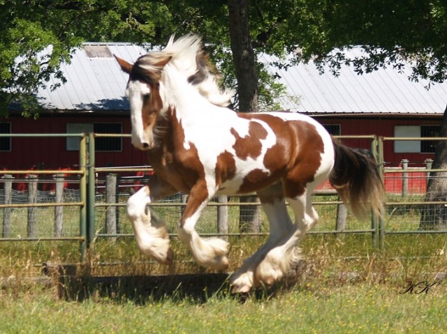 Stallion Quality Drum Colt!