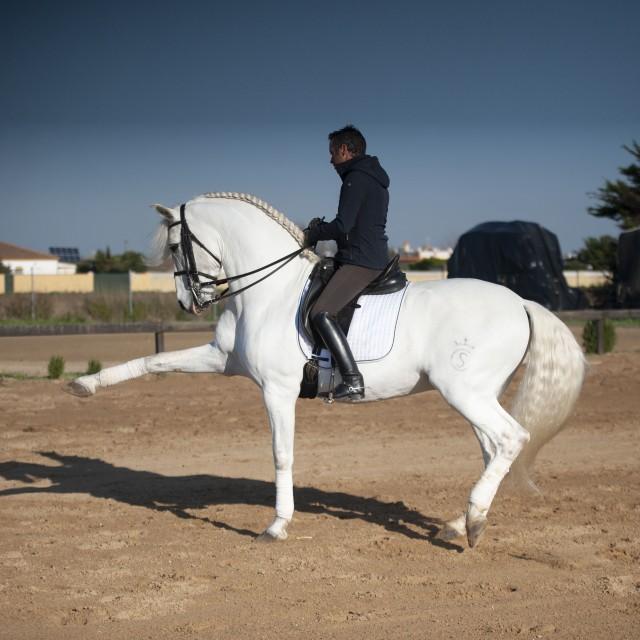 Pure Carthusian horse