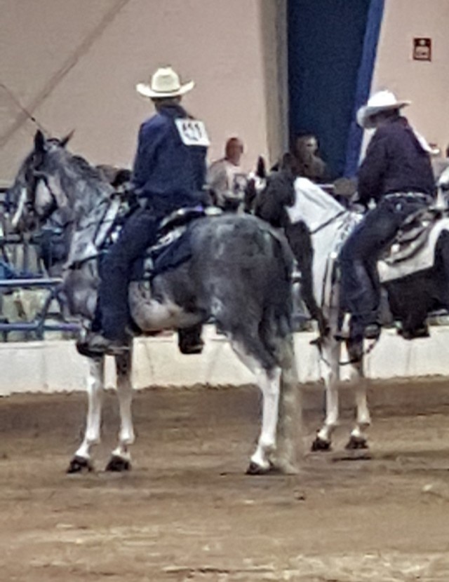 Experienced show mare