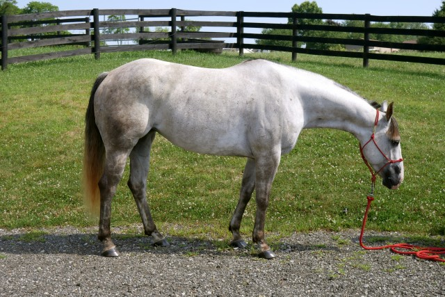 5 YO Gray QH Mare Ranch Riding/Obstacle Challenge Prospect