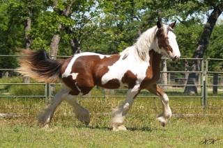 Horse Feathers Bucephalus
